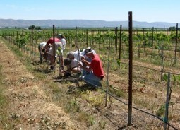 WSU researchers demonstrate that fruit and wine quality are not affected by grafting - Marketing, News, and Educational Communications | In The Vineyard | Scoop.it