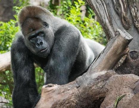 Bientôt des grands singes à Pairi Daiza   Pays Vert   Scoop.it