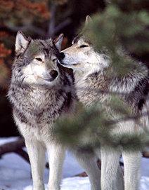Le patrimoine génétique du loup est menacé au Québec | Planète, Nature et Biodiversité | Scoop.it