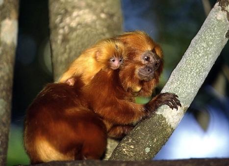 Nederland op zoek naar dieven zeldzame aapjes - De Standaard | MaCuSa | Scoop.it