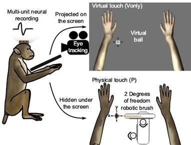 How touch and movement neurons shape the brain's internal image of the body | KurzweilAI | Science, Technology, and Current Futurism | Scoop.it