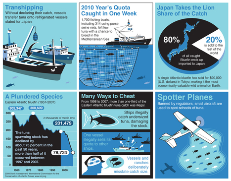#TunaCatch  ~ #InfoGraph ~ illegal fishing! | Rescue our Ocean's & it's species from Man's Pollution! | Scoop.it