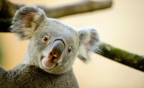 Puzzle of Koalas' Unusually Deep Voices Solved: A Very Special Organ | American English Pronunciation | Scoop.it