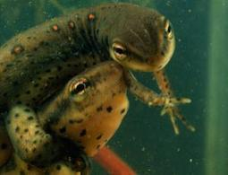 Zoologger: Meet the amphibian with sexual kidneys | Social Foraging | Scoop.it