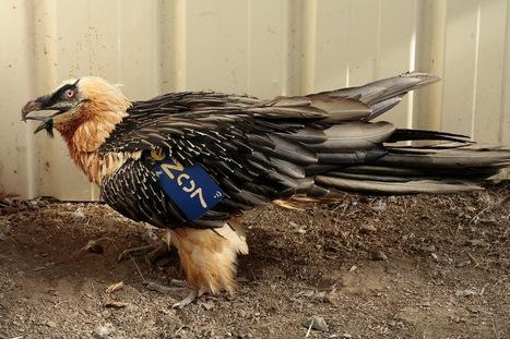 Un Gypaète barbu retrouvé blessé à Arreau (MAJ 26/10) | Vallée d'Aure - Pyrénées | Scoop.it