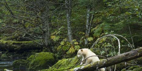 Le Canada sanctuarise la plus grande forêt humide du monde | Economie Responsable et Consommation Collaborative | Scoop.it
