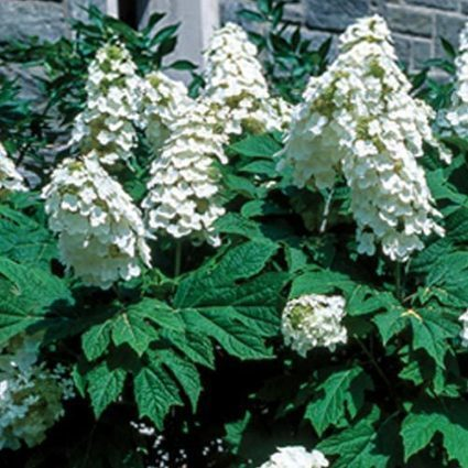 Snow Queen Oakleaf Hydrangea | Springhill Nursery | Scoop.it