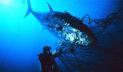 Biodiversité : La pêche du thon menace plusieurs espèces   zegreenweb   Bee'O Press   Scoop.it