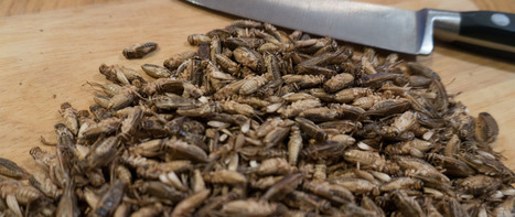 Are bugs really the future of food? I tried them to find out | Factor | Entomophagy: Edible Insects and the Future of Food | Scoop.it