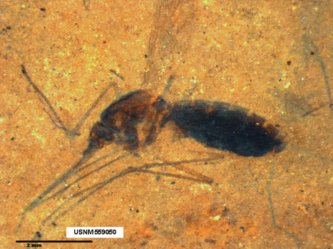 Blood molecules preserved for millions of years in abdomen of fossil mosquito | InsectNews | Scoop.it