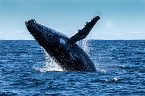 Best whale watching destinations in the world | Commonwealth of Dominica | Scoop.it