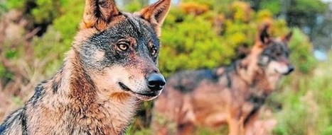 Wolf tourism is more profitable than killing them - European Wilderness Society | Confidences Canopéennes | Scoop.it