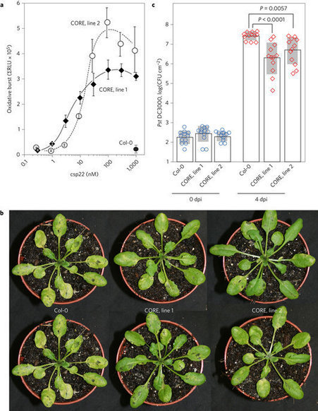 The pattern-recognition receptor CORE of Solanaceae detects bacterial cold-shock protein | Interaction, and more... | Scoop.it