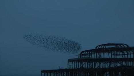 The Beautiful Phenomena Of Starling Flocks, Explained By Computers | collectibles from scoop.it | Scoop.it