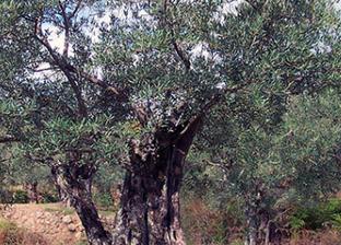 El enlace de campaña del aceite de oliva podría ser mínimo   OLIVE NEWS   Scoop.it