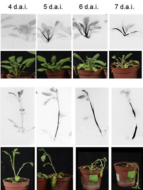 MPMI: A novel, sensitive method to evaluate potato germplasm for bacterial wilt resistance using a luminescent Ralstonia solanacearum reporter strain (2013) | Research | Scoop.it