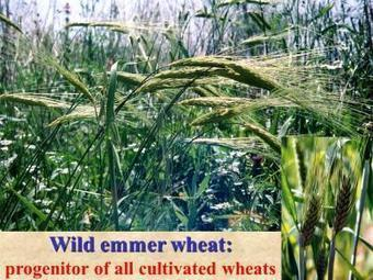 World nourishment at risk of being diminished: Wild cereals threatened by global warming | Science Codex | Geography | Scoop.it