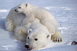 World Fails to Ban International Trade in Polar Bear Parts | Arctic animals | Scoop.it