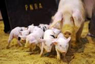 Save The Pigs by going commando | Quite Interesting News | Scoop.it