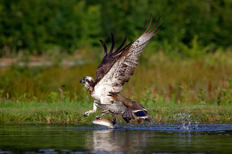 Oh Duck! I Didn't See You There – The Story Of How A #Duck Chases An #Osprey ~ Aidan Finn Photography | Rescue our Ocean's & it's species from Man's Pollution! | Scoop.it