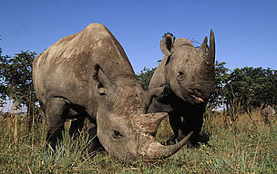 "TRAFFIC: ""Loose horns"", surging demand and easy money create ""perfect storm"" for rhino poaching 