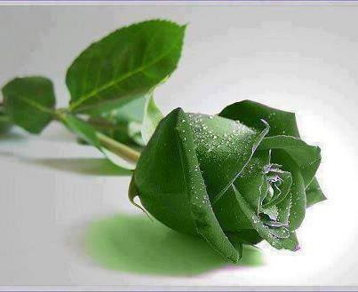 El Sentido Del Saber: El Significado De Las Rosas Por Su Color. | Rutas del Bienestar-Walking around wellness | Scoop.it