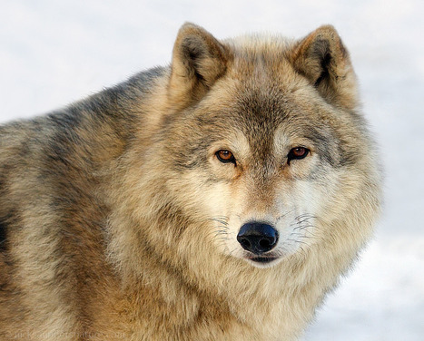 Why The World Needs Wolves | Biodiversity IS Life  – #Conservation #Ecosystems #Wildlife #Rivers #Forests #Environment | Scoop.it