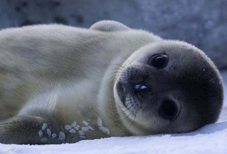 Baby #WeddellSeals Have the Most Adult-Like Brains in the Animal Kingdom #Wildlife | Rescue our Ocean's & it's species from Man's Pollution! | Scoop.it