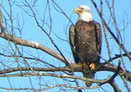 Editorial: Bald eagle sighting in Delaware Township gives us hope | Birds and Birding | Scoop.it