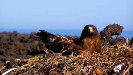 Galápagos Hawks Hand Down Lice Like Family Heirlooms | ScienceNewsline | CALS in the News | Scoop.it