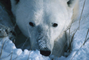 Environment Canada - Nature - Conservation of Polar Bears | science conservation | Scoop.it
