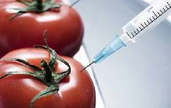 GMOs could already be in Ghana | Food issues | Scoop.it