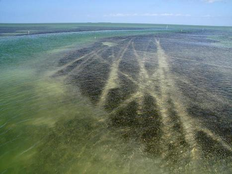 Protect #Florida Bay and Everglades National Park ~ shallow #seagrasses Pls sign... | Rescue our Ocean's & it's species from Man's Pollution! | Scoop.it