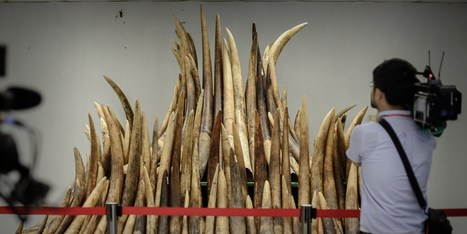 Hong Kong Starts Destroying Ivory Cache   TOK   Scoop.it