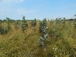 Colza avec cultures associées, bilan de l'année pour 13 agriculteurs Haut-Normands - Agro Perspectives | Perspectives en Agroalimentaire | Scoop.it