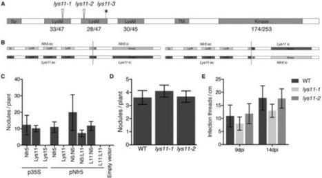 Intraradical colonization by arbuscular mycorrhizal fungi triggers induction of a lipochitooligosaccharide receptor   Plant & Evolution   Scoop.it