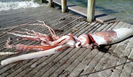 Giant squid creates buzz in Kaikour   Scuba Smurf   Scoop.it