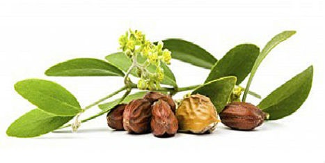 Jojoba Seeds: Amazing Properties And Uses | Agro Products | Scoop.it