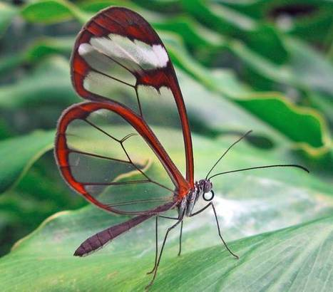 Glasswings from the rainforest could help solar soar : Biomimicry | NGSS Resources | Scoop.it