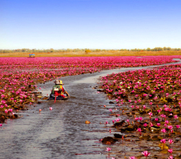 Fabulous Red Lotus Sea at Talay Bua Daeng in Thailand | Beautiful Landscapes in Thailand | Scoop.it