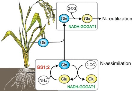 Evidence supporting distinct functions of three cytosolic glutamine synthetases and two NADH-glutamate synthases in rice | Molecular Biology and Life Science | Scoop.it