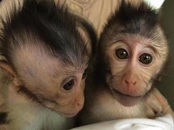 Crean monos transgénicos con síntomas de autismo | Educación | Scoop.it