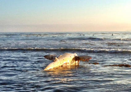 Whale found dead off Manhattan Beach likely same one rescued near pier - Daily Breeze | whale news | Scoop.it