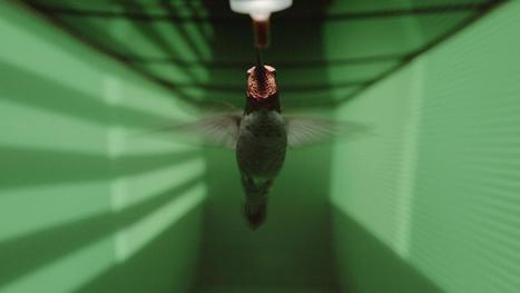 Hummingbird vision wired to avoid high-speed collisions | De Natura Rerum | Scoop.it