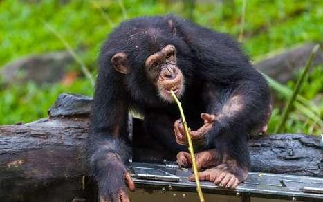 Des chimpanzés deviennent pêcheurs d'algues | Biodiversité & Relations Homme - Nature - Environnement : Un Scoop.it du Muséum de Toulouse | Scoop.it