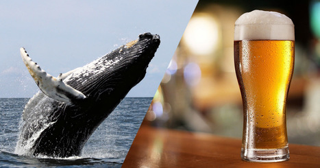 Des brasseurs islandais massacrent des baleines protégées pour fabriquer de la bière… avec leurs testicules ! | Chronique d'un pays où il ne se passe rien... ou presque ! | Scoop.it