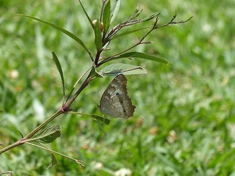 Photo de Lépidoptère : Papillon du Panama - Papillons - butterfly - butterflies - Insectes du Panama   Fauna Free Pics - Public Domain - Photos gratuites d'animaux   Scoop.it