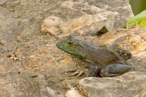 American bullfrog's loud deep call a classic in Hutto   Mary Ann's Nature Articles from The Hutto News   Scoop.it