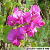 Pois de senteur, Lathyrus : à semer en mars dans le jardin d'agrément | Côté Jardin | Scoop.it