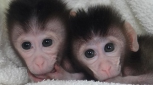 First monkeys with customized mutations born, promising better models for human genetic diseases | No silences at lunch | Scoop.it